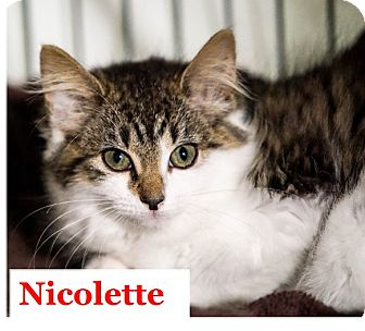Domestic Mediumhair Kitten for adoption in Morganville, New Jersey - Nicolette