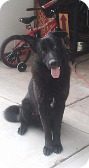 German Shepherd Dog/Labrador Retriever Mix Dog for adoption in Morrisville, North Carolina - Haben (adoption pending)