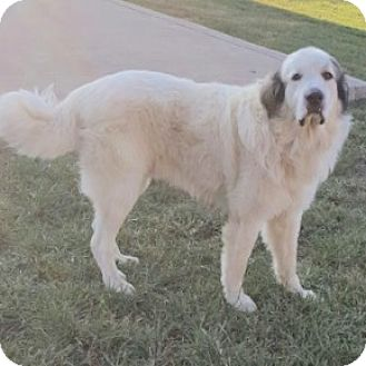 Great Pyrenees Dog for adoption in Cranford, New Jersey - Sugar Bear