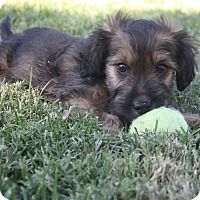 Adopt A Pet :: Horace - Henderson, NV