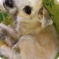 Adopt A Pet :: Chloe Mae, a Poodle mix puppy - Arlington, WA