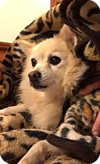 Pomeranian/Spitz (Unknown Type, Medium) Mix Dog for adoption in Harrisburg, Pennsylvania - Amelie