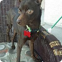 Adopt A Pet :: gomez - Las Vegas, NV