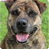Adopt A Pet :: GUNNY-spayed, Low Fees/spayed - Red Bluff, CA