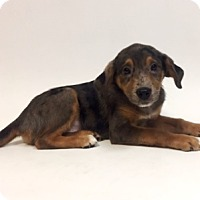 Adopt A Pet :: Meredith - Show Low, AZ