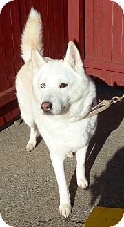 Husky/Spitz (Unknown Type, Medium) Mix Dog for adoption in Carmel, New York - Codie
