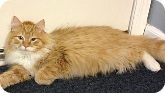 Maine Coon Kitten for adoption in Pittstown, New Jersey - Charm