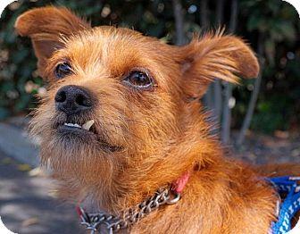 Border Terrier/Brussels Griffon Mix Dog for adoption in Beverly Hills, California - LEONARDO