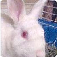 Florida White Mix for adoption in Rockville, Maryland - Algernon
