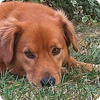 Adopt A Pet :: Corkey - Manchester, NH