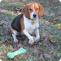 Adopt A Pet :: Doris Day - Bedminster, NJ