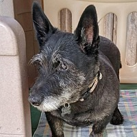 Scottie, Scottish Terrier Mix Dog for adoption in Dallas, Texas - Cheyenne (16)