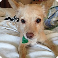 Adopt A Pet :: Summer formerly Twinkie - Las Vegas, NV