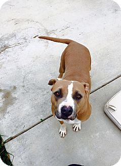 American Pit Bull Terrier Mix Dog for adoption in Lincoln, California - Honey
