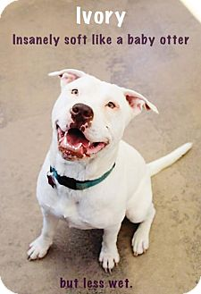 Shar Pei/American Pit Bull Terrier Mix Dog for adoption in San Francisco, California - Ivory
