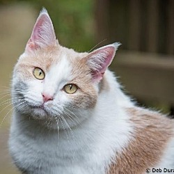 Photo 3 - Domestic Shorthair Cat for adoption in Herndon, Virginia - Celeste