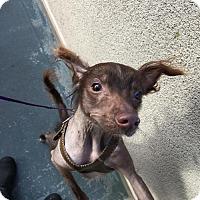 Adopt A Pet :: Torey - San Francisco, CA
