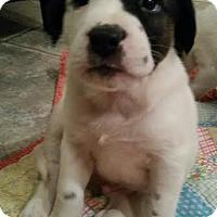 Adopt A Pet :: Blitzen -pending adoption - Manchester, CT