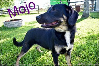German Shepherd Dog/Labrador Retriever Mix Dog for adoption in Beaumont, Texas - MOJO