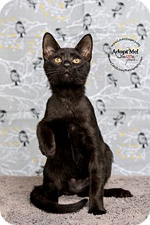 Domestic Shorthair Cat for adoption in Cincinnati, Ohio - Boz