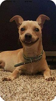 Dachshund/Rat Terrier Mix Dog for adoption in Phoenix, Arizona - Graham