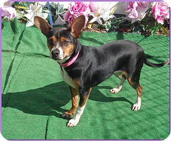 Beagle/Rat Terrier Mix Dog for adoption in Marietta, Georgia - MITZI