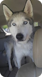 Siberian Husky Dog for adoption in Mount Juliet, Tennessee - Douglas