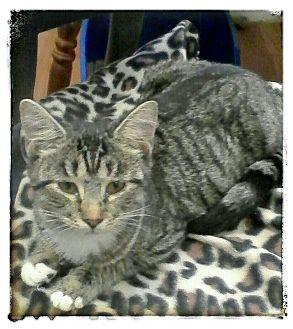 Domestic Shorthair Kitten for adoption in Trevose, Pennsylvania - Steffi