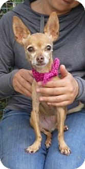Chihuahua Dog for adoption in Studio City, California - Darcy