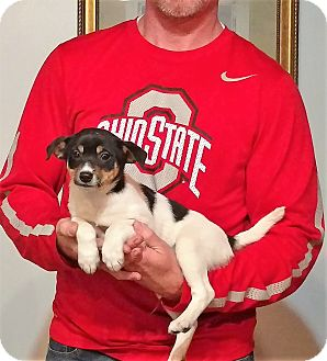 Toy Fox Terrier/Jack Russell Terrier Mix Puppy for adoption in South Euclid, Ohio - Cricket