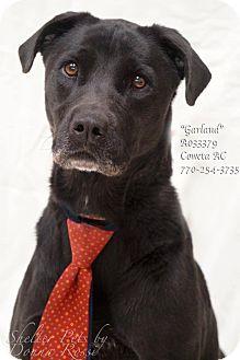 Labrador Retriever Mix Dog for adoption in Newnan City, Georgia - Garland