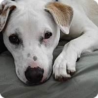 Adopt A Pet :: Chad - DeForest, WI