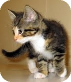 Calico Kitten for adoption in Catasauqua, Pennsylvania - Lexi