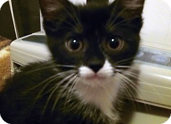 Domestic Shorthair Kitten for adoption in Irvine, California - Farrah
