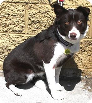 Border Collie/Australian Shepherd Mix Dog for adoption in Gilbert, Arizona - Geisha