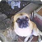 Adopt A Pet :: Pug Mix