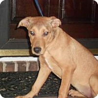 Adopt A Pet :: SHELLY - Raleigh, NC