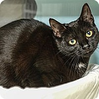 Adopt A Pet :: Lil' Black - New York, NY