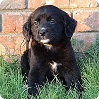 Adopt A Pet :: *Primrose - PENDING - Westport, CT