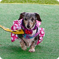 Adopt A Pet :: Hope Kipling - Houston, TX