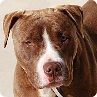 Adopt A Pet :: Colt - Toccoa, GA