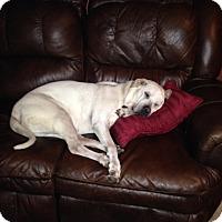 Adopt A Pet :: Puggs - Yukon, OK