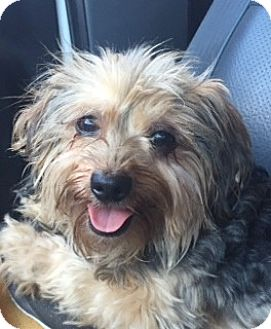 Yorkie, Yorkshire Terrier/Terrier (Unknown Type, Small) Mix Dog for adoption in McKinney, Texas - Chip