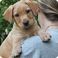 Adopt A Pet :: Cubbie - Mt. Prospect, IL