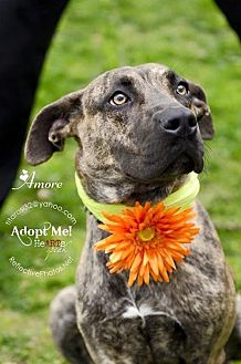 Shepherd (Unknown Type) Mix Dog for adoption in NYC, New York - AMORE