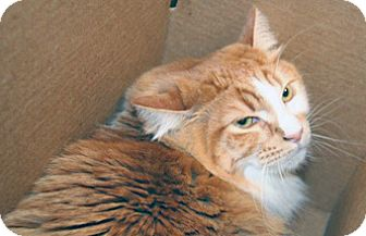 Domestic Shorthair Cat for adoption in Wildomar, California - Buddy