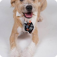 Airedale Terrier Mix Dog for adoption in Irving, Texas - Raindrop
