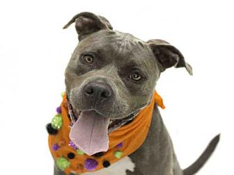 Pit Bull Terrier Mix Dog for adoption in Orlando, Florida - *HALE