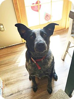 Australian Cattle Dog Dog for adoption in NYC, New York - CHASE