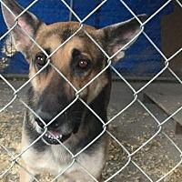German Shepherd Dog Dog for adoption in Del Rio, Texas - Marshal
